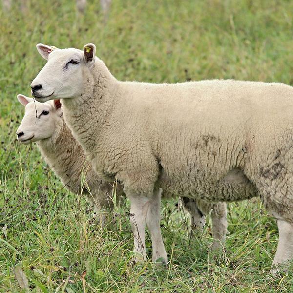sheep-2800189_1281